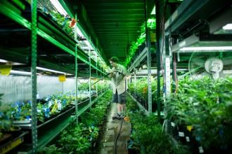Lielākā daļa Kolorādo marihuānas tiek audzēta no kloniem — nogrieztiem neziedošu augu dzinumiem. Tos nākas laistīt vairākas reizes dienā.