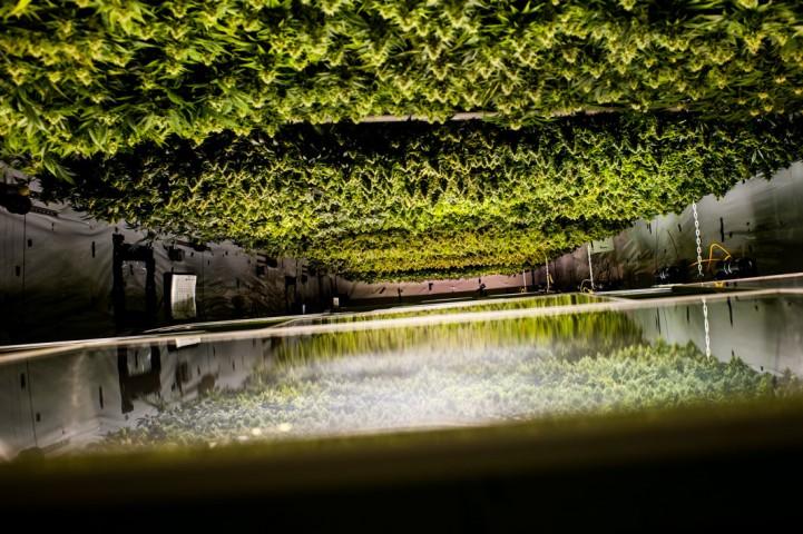 """Marihuānas siltumnīca. (Foto """"kājām gaisā"""")."""