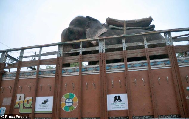 crying-elephant-raju-rescued-chained-50-years-10