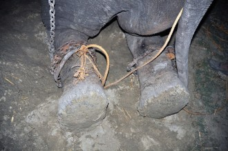 Londonas dzīvnieku aizsardzības organizācijas Wildlife SOS aktīvisti devās uz Indijas, Utar Pradešas (Uttar Pradesh) pavalsti uzreiz, tiklīdz uzzināja par Radžas smago likteni – dzīvnieks tika sists, mērdēts badā un citādi spīdzināts.