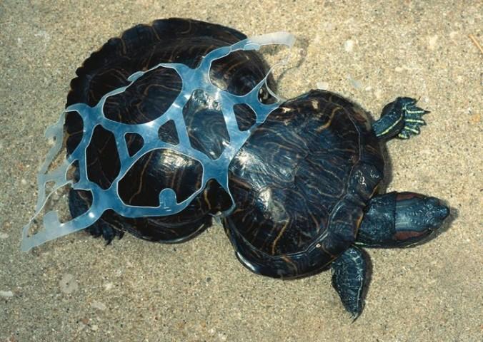 Arī šim bruņrupucim dzīvi sarežģī plastikāta atkritumi.