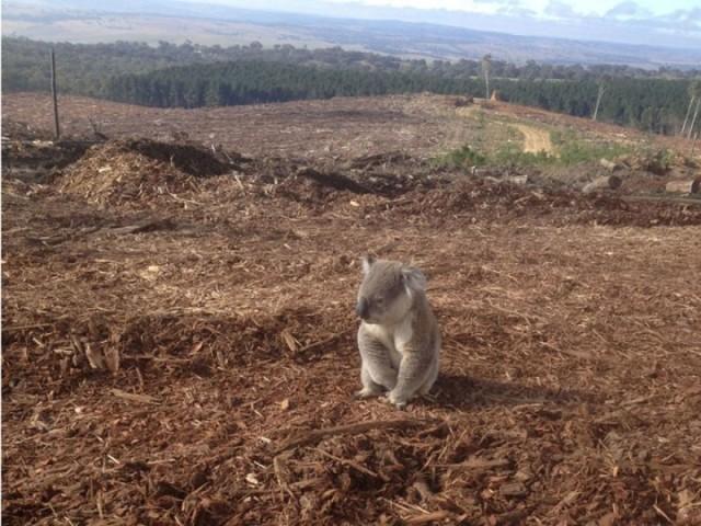 Koala māju vietā ir izdedzis klajums