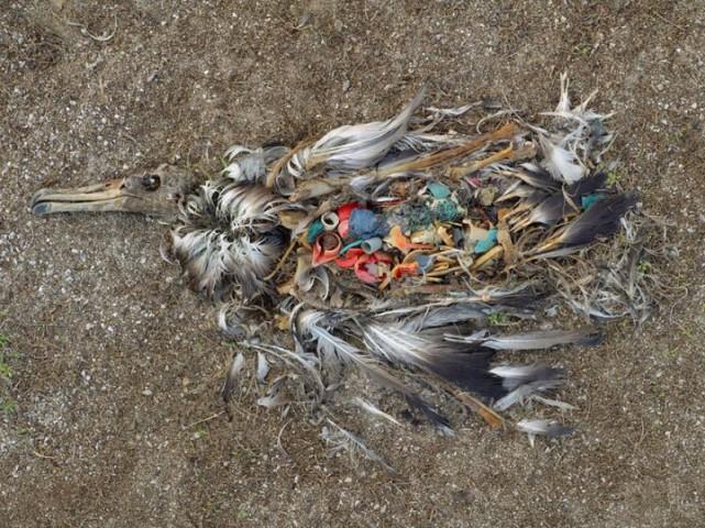 Putna nāves iemesls - pārēšanās ar atkritumiem