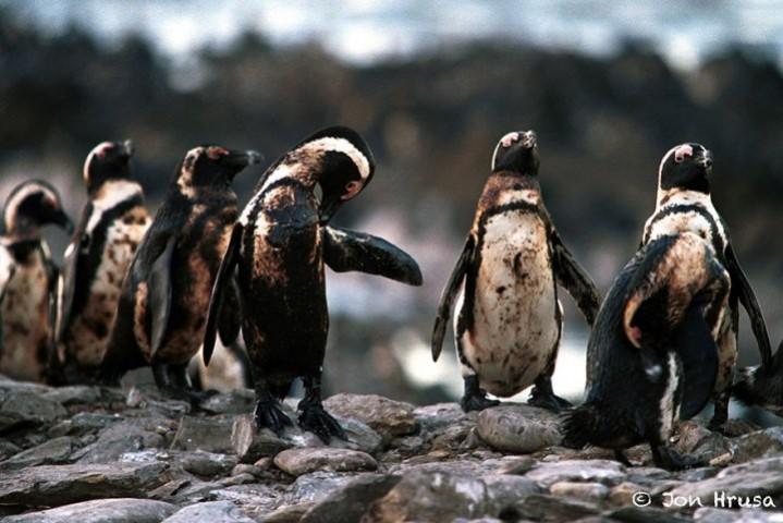 Pingvīni un nafta