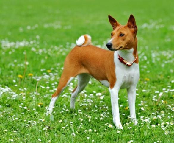 Ir suņu suga, kura nevis rej, bet jodelē - basenži. Tas ir neparasts, mazs, atlētisks un elegants suns, aptuveni vienāda auguma ar foksterjeru.