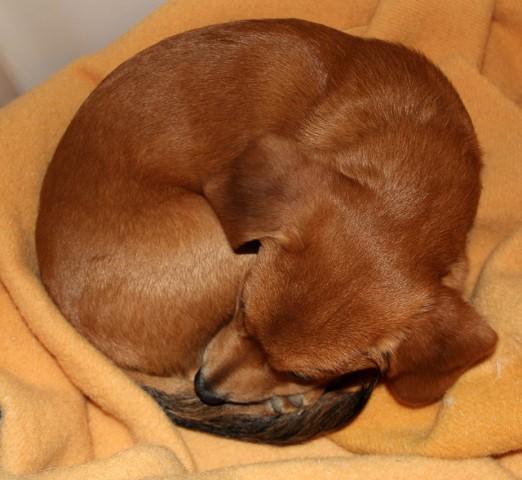 Suņi saritinās čokurā, lai pasargātu sevi no naidniekiem -- Zinātnieki noskaidrojuši, ka suņi saritinās kamoliņā tāpēc, lai pasargātu savus dzīvībai svarīgos orgānus no iespējama plēsoņu uzbrukuma.