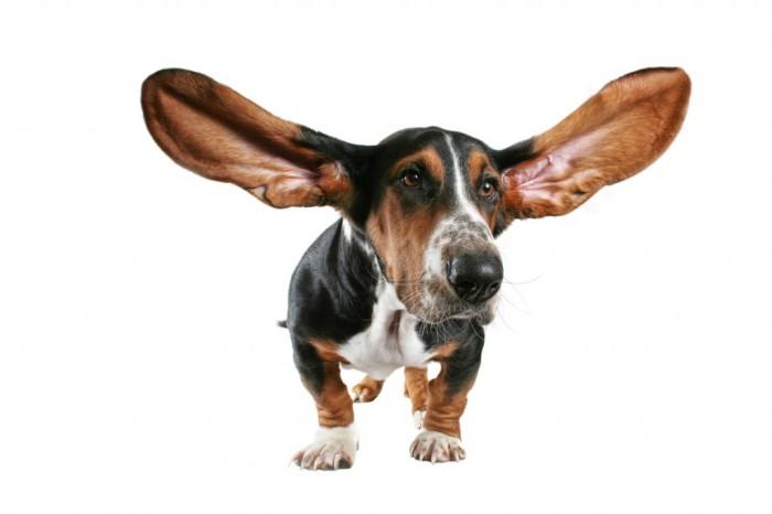 Katrā suņa ausī ir vismaz 18 aktīvi muskuļi. Tāpat arī tās var kustēties neatkarīgi viena no otras.
