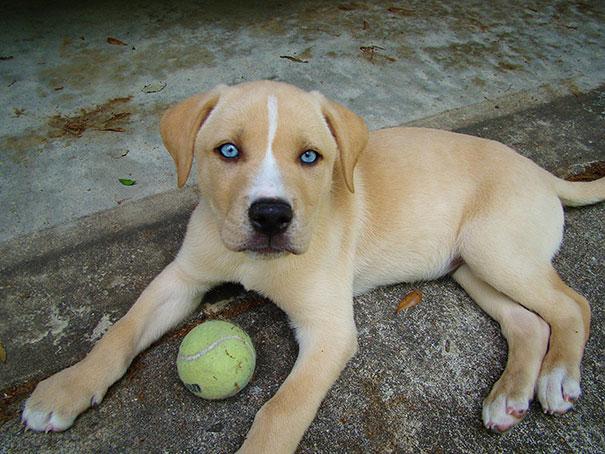 Labradors un haskijs