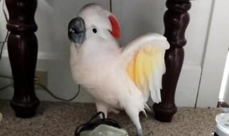 papagailis murmina lāstu