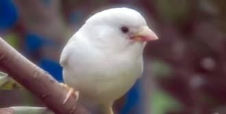 baltais zvirbulis