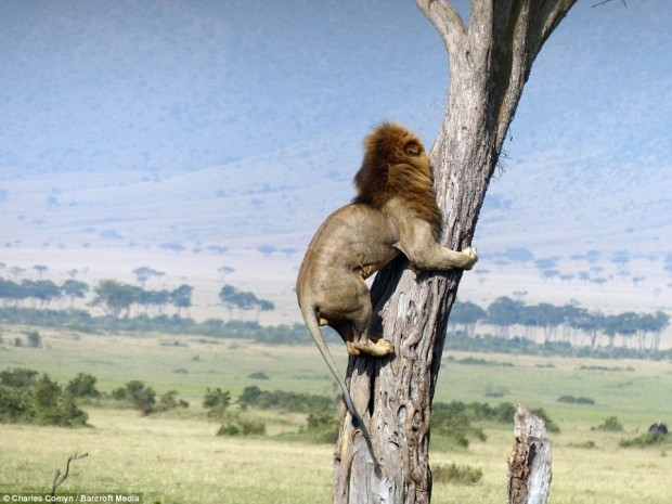 Zvēru karalis, uzrāpjas kokā
