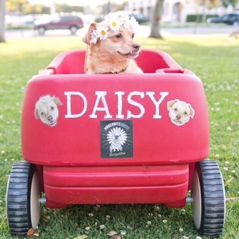 Deizija ir ļoti drosmīgs suns, ar stipru raksturu un mīlīgu purniņu.