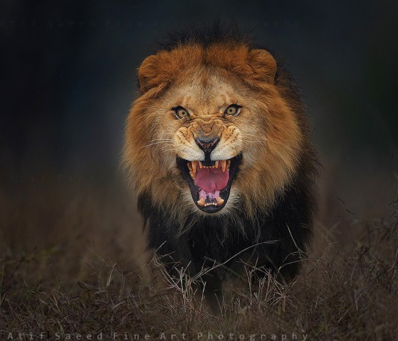 lion-attack-photo-portrait-wildlife-photography-atif-saeed-10