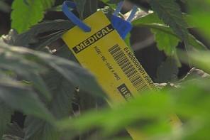 Alabamas likumdevēji atzīst marihuānas medicīnisko vērtību