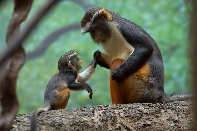 Pērtiķēnu mazulis klausās mammas pamācību, ka labāk ir mācīties no citu kļūdām
