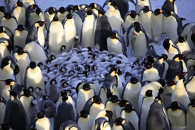 Kad bērni sāk blēņoties, talkā nāk viss pingvīnu ciems