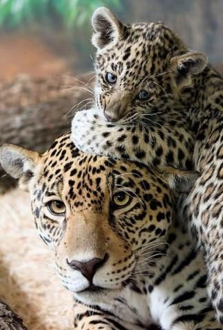 Leopardu mammas - pašas pacietīgākās mammas pasaulē!