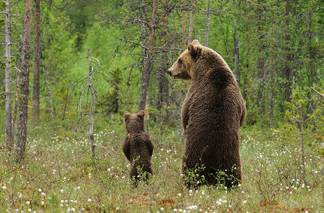 Lāču mammai šķiet, ka dēlam ir laiks apgūt jaunas teritorijas