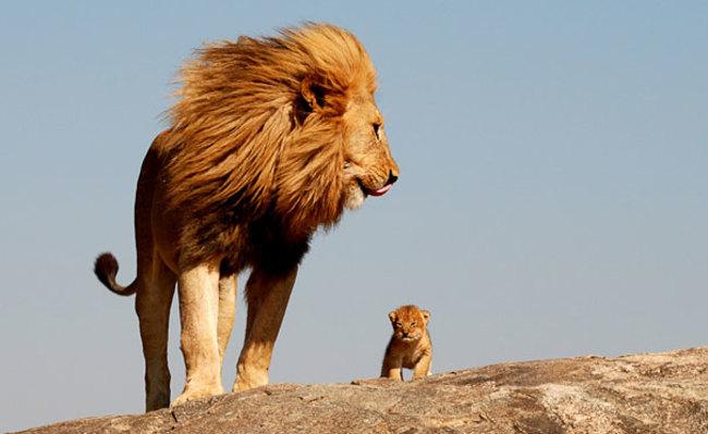Lauvu tētis zina: dēls dienās būs karalis