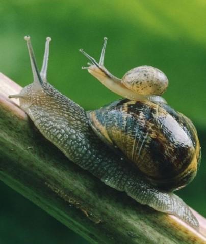 Gliemežu mamma, šķiet, ir vienīgā, kura vēlas, lai bērns aug lēnām