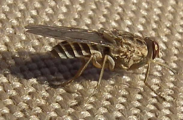 17. Cece muša --  Šie kukaiņi Āfrikā izplata miega slimību - infekciju, kuras rezultātā rodas smadzeņu tūska. Tas skar apmēram 500 000 cilvēku, no kuriem 80% mirst.