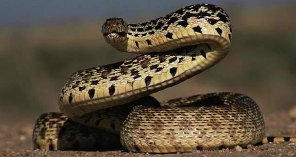 9. Čūska --  Ik gadu no čūsku kodumiem mirst apmēram 15 000 cilvēku. Tās zibenīgi uzbrūk, kad jūtas apdraudētas.