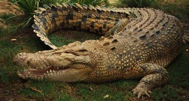 11. Krokodils --  Ik gadu krokodilu uzbrukumos mirst 1500 – 2500 cilvēku.