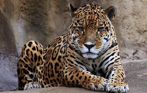 10. Leopards --  Nav oficiāli reģistrētu leoparda uzbrukumu gadījumu, taču zināms, ka tie ir Indijā, kur šie jūtas apdraudēti straujās urbanizācijas dēļ. Zināms, ka gada laikā leopards var nogalināt ap 15 cilvēkiem.
