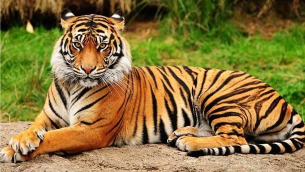 1. Tīģeris gada laikā nogalina apmēram 100 cilvēkus.