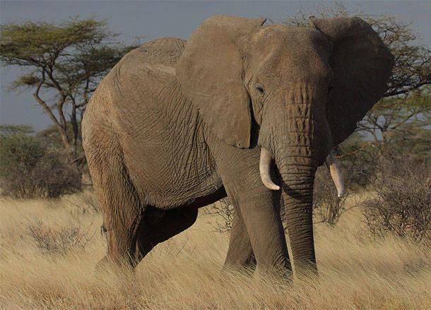 12. Ziloņi ik gadu samin ap 500 cilvēku.