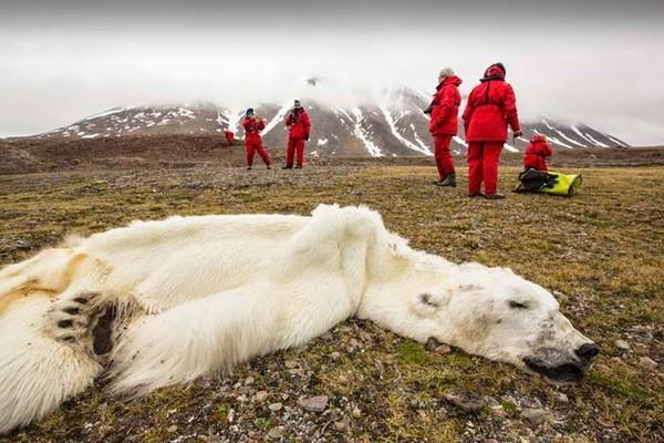 Globālās sasilšanas upuris – bada nāvē miris ledus lācis