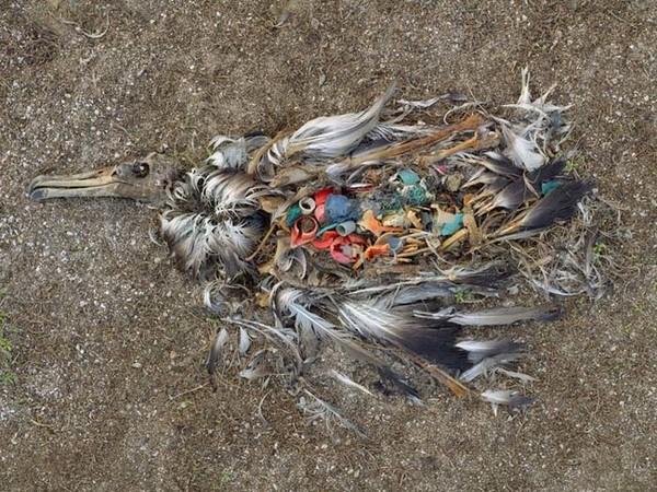 Beigts albatross Midveja salās. Putns miris, jo notiesāja drazas, ar kurām pilnas vietējās pludmales