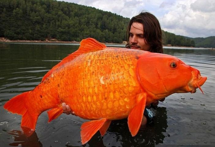 Šī 15 kg smagā karpa tika noķerta Francijas dienvidos. Tāda pamatīga padevusies šī zelta zivtiņa, vai ne?
