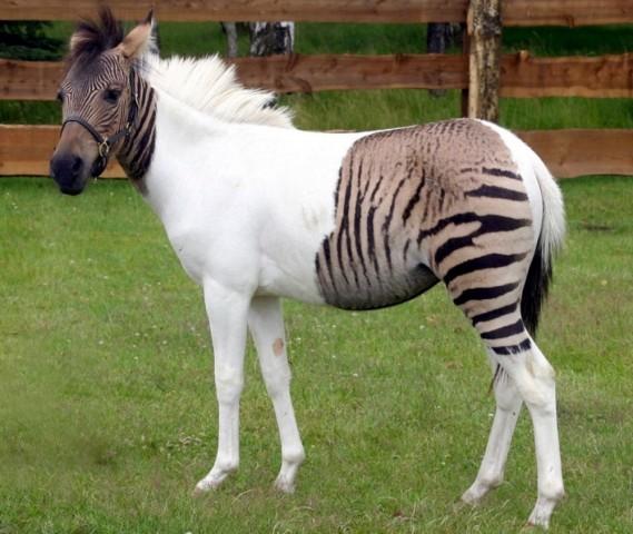 Šīs skaistules senčos ir zebra un ponijs.