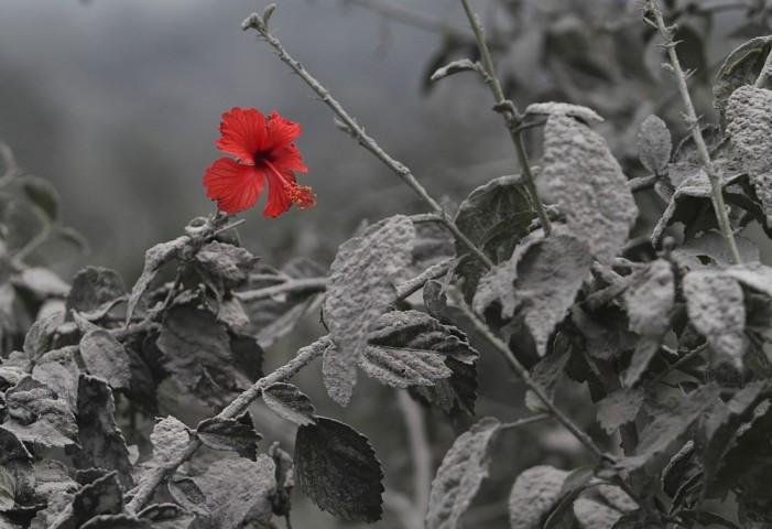 Pēc vulkāna izvirduma uzziedējusi Ķīnas roze (hibisks) Sumatras salā.