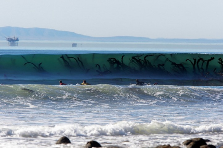 Nē, tie nav jūras briesmoņu taustekļi, bet gigantiski ūdensaugi paisuma vilnī.