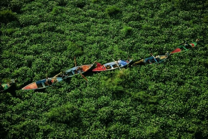 Ūdens hiacintes Nīlā, Ēģiptē.