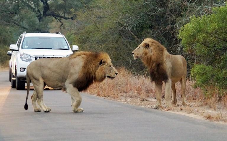 Taču kādai ekskursantu grupai nācās piedzīvot baisus brīžus, atrodoties savvaļas zvēru tiešā tuvumā brīdī, kad divi lauvas sarīkoja antilopes medības burtiski izstieptas rokas attālumā no šokēto tūristu automašīnām.