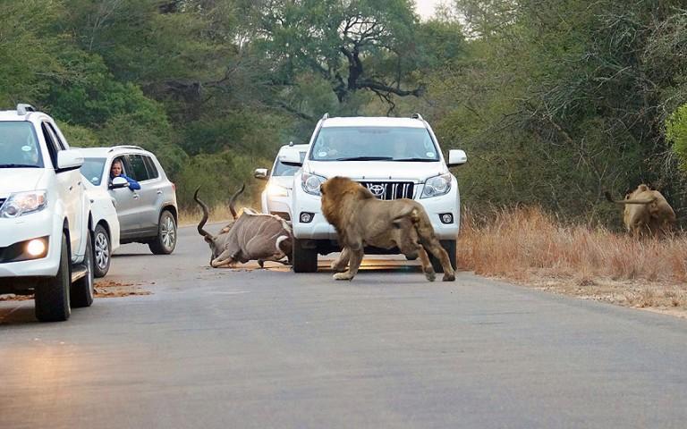 Šoferi nobremzēja, lai vērotu plēsoņu izturēšanos.  Brīdī, kad antilope izskrēja uz ceļa, viens no lauvām metās viņai virsū un iekodās dzīvnieka mugurā.