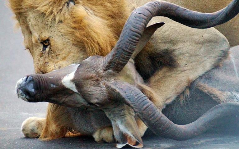 Otrs lauva pārkoda antilopei rīkli.