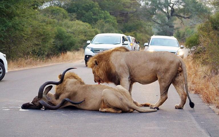 Tūristi ieinteresēti vēro lauvu darbošanos ap nomedīto antilopi.