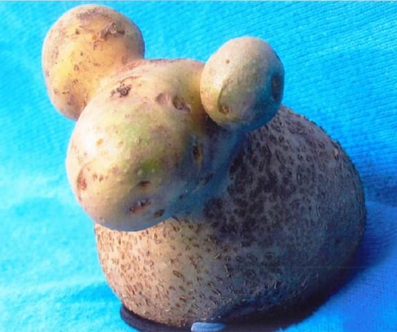 Kartupeļu auns