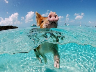 Bahamu salu cūkas
