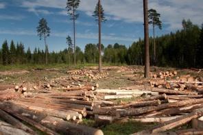 Jūrmala pilna ar graustiem un tukšu dzīvokļu mājām, bet dome grib izcirst kokus jauniem namiem