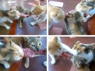 kaķi un steiks