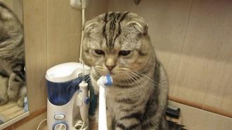 kaķis tīra zobus