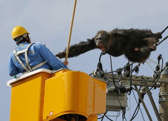 Japan Runaway Chimp