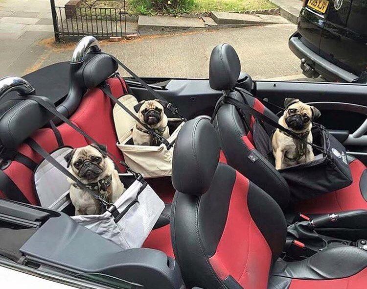 Bagāti suņi vienatnē ceļojumos nedodas